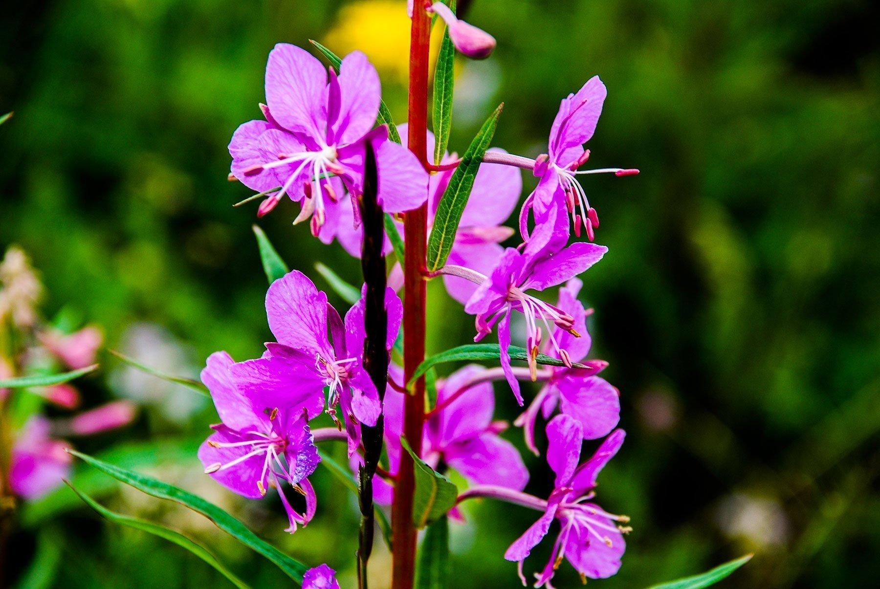 fleur-04-Kuujjuaq