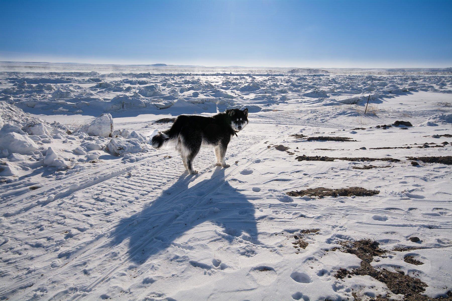 tundra dog